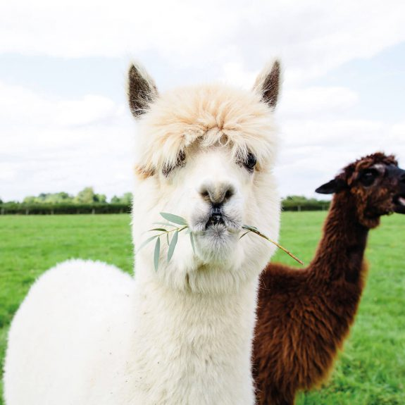 Alpaca-with-Grass-Mouth