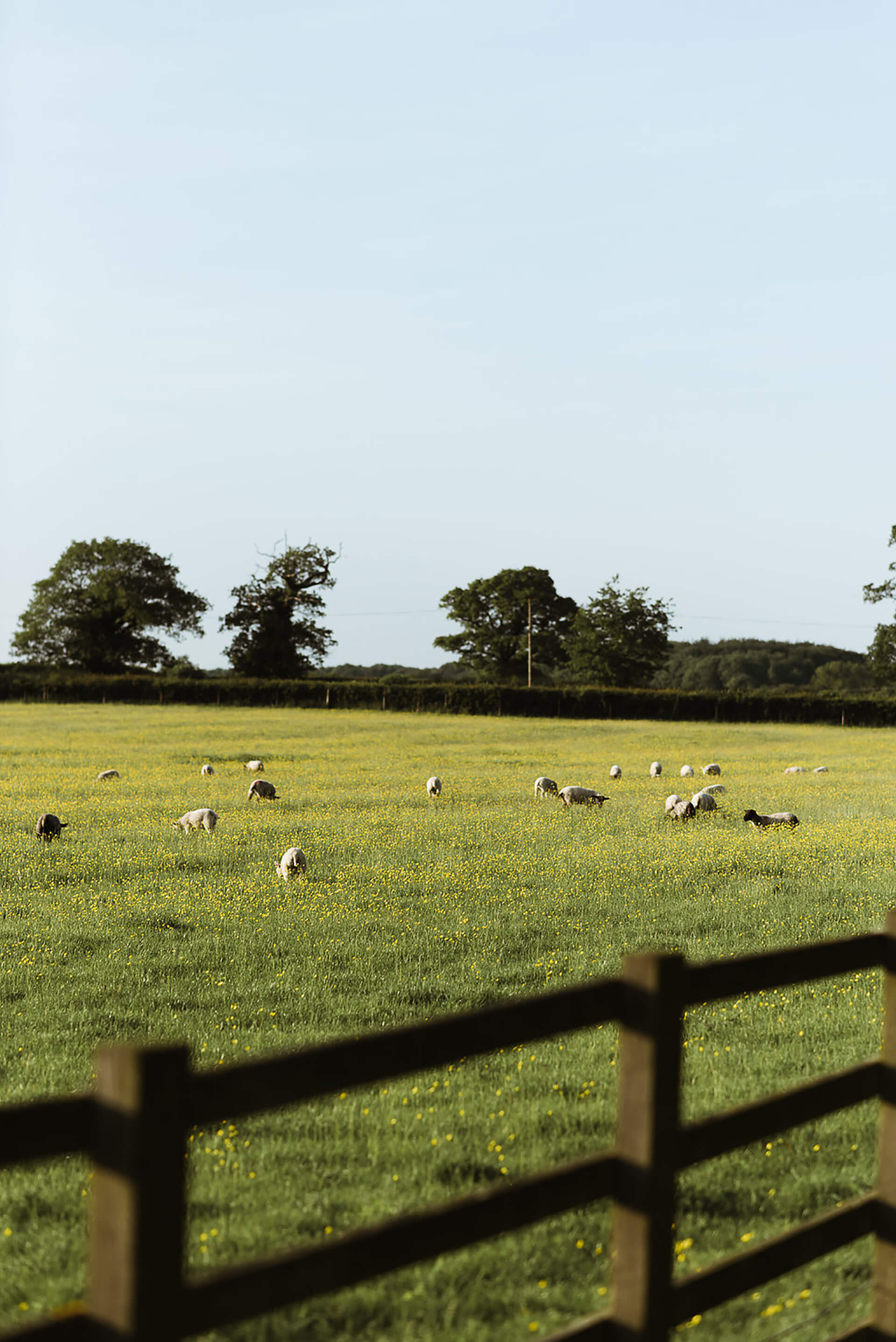 "Our lovely flock of sheep, grazing in the sunshine. Photo by <a href=""http://www.alexandraholtphotography.com/"" target=""_blank"">Alexandra Holt</a>"
