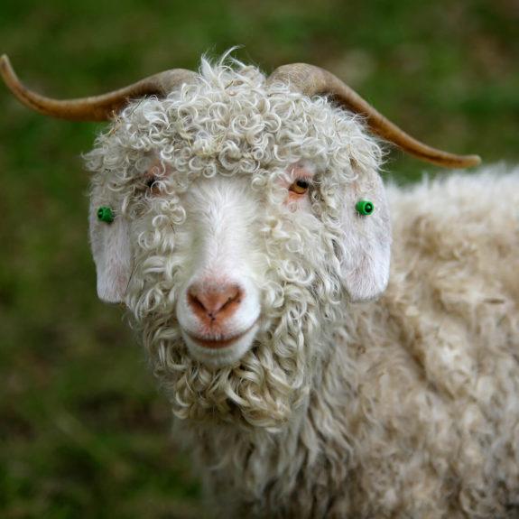 goats 1